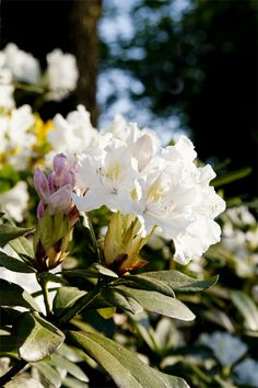 white oleander...one of my favorites!  handle with care...