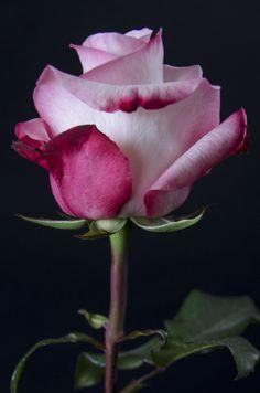VANIA - Eden Roses Ecuador