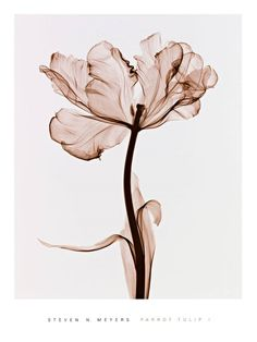 x ray flower | Steven N. Meyers Photos, Art Print, Posters, Steven N. Meyers Photos