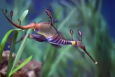 From Wikipedia: Much like the seahorse, the leafy seadragon's name is derived from its resemblance to another creature (in this case, the mythical dragon). While not large, they are slightly larger than most seahorses, growing to about 20–24 cm (8–10 in). They feed on plankton and small crustaceans.