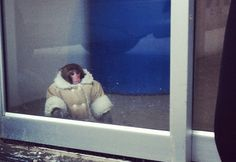 Monkey in a fur coat hanging out at an Ikea in Toronto goes viral. Seriously.