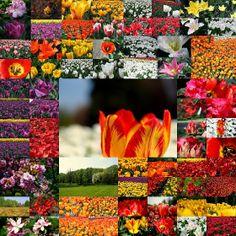 MarGib - Świat zza klawiatury: 50000 tulipanów zakwitło w Łódzkim Ogrodzie Botani...