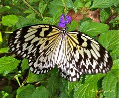 a beautiful butterfly at Fairchild Tropical Garden