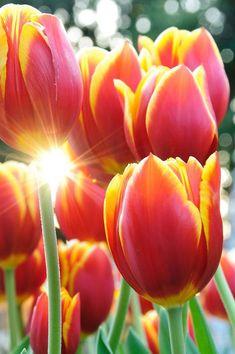 ~~Winter tulips by inoc~~