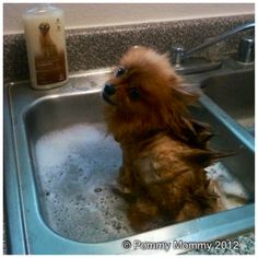 How to Maintain your Pomeranians Grooming at Home - Where Mommies of the Pomeranian Dog Breed can gather, socialize and find organic home made dog treats