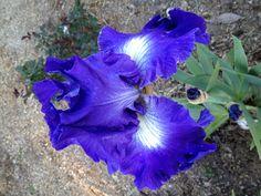 Blue Bearded Iris.  It looks purple but was really blue! :-)