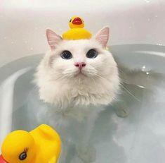 Pets cute cat memes, cute cat breeds, cute cat wallpaper, funny cat v Cute Cats And Kittens, Baby Cats, Kittens Cutest, Cute Baby Animals, Animals And Pets, Funny Animals, Cute Cat Memes, Funny Cats, Funny Memes
