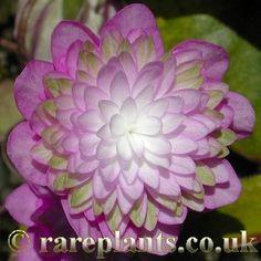 Hepatica japonica 'Touen' [Family: Ranunculaceae]