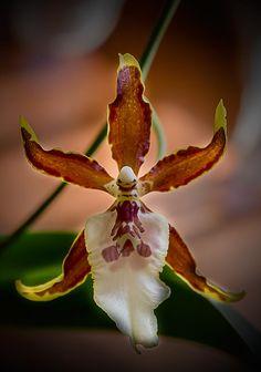 Orchidea by valentino.villa.5