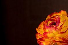 Ranunculus, Flower, Blossom, Bloom pixabay.com