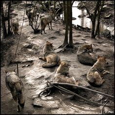 Wolf pack relaxing.