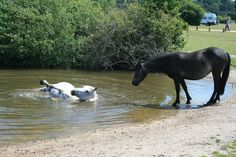 New Forest Ponies cooling down. Rolling in the pond water.