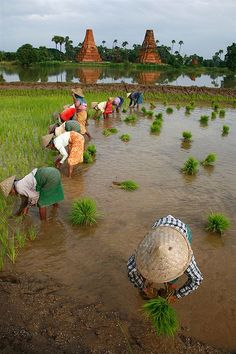 Women picking up rice in a paddy field, Innwa, Myanmar