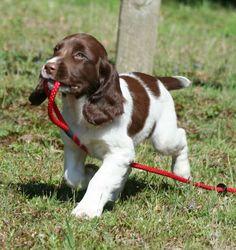Adorable gun dog in training