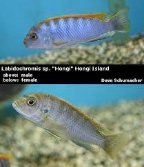 Imagini pentru hongi srt Fish, Female, Pets, Animals, Animals And Pets, Animales, Animaux, Animal, Animais