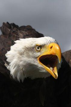 "moreanimalia: "" The Call… by ~RakkuAmiya "" Eagle Bird, Eagle Wings, Beautiful Creatures, Animals Beautiful, Bold Eagle, Wild Life, Where Eagles Dare, Eagle Pictures, Most Beautiful Birds"