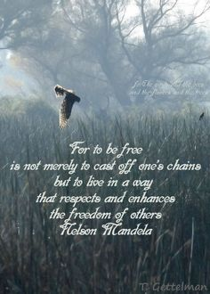 For to be free is not merely to cast off one's chains but to live in a way that respects and enhances the freedom of others. ~ Nelson Mandela  #NorthernHarrier