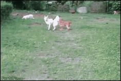 Male dog chasing female dog, funny gif