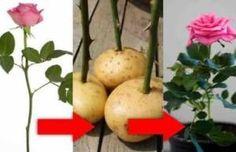 Cómo enraizar una rosa ya cortada y hacer que florezca con este estupendo truco.
