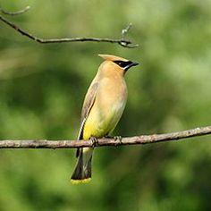 The Cedar Waxwing (Bombycilla cedrorum) is a member of the family Bombycillidae or waxwing family of passerine birds.