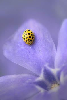 ladybug in purple by trui Heinhuis on 500px