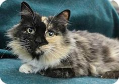 Blackwood, NJ - Domestic Longhair. Meet Melanie, a cat for adoption. http://www.adoptapet.com/pet/12185962-blackwood-new-jersey-cat