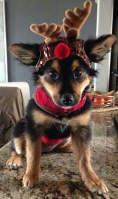 ♥ #Christmas #Puppy ♥