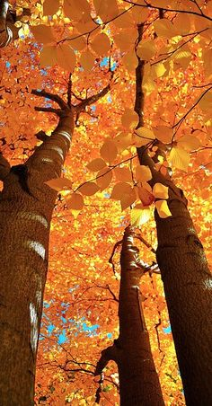golden leaves...