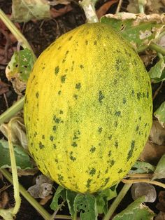 The Lambkin is a small variety of Piel de Sapo, and its sweet, juicy flavor has earned it a spot in my future gardens.