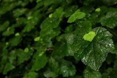 Piggyback Plant: a Fun, Easy Houseplant on http://www.hortmag.com