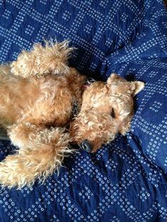 Airedale Sleep Position # 91