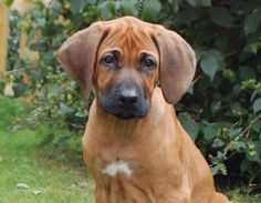rhodesian ridgeback puppy---this looks like my dog. Ive been saying all along that she is probably mixed with a ridgeback and no one listens! lol
