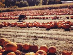 Bright orange pumpkins wait to be picked from the field. Katie Anderson, Your Take Katie Anderson, You Take, Beautiful Scenery, Fall Pumpkins, Bellisima, Fields, United States, Bright, America