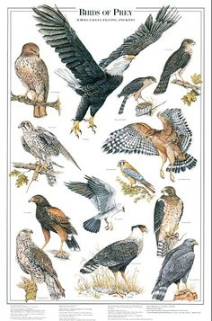 Birds of Prey Identification Chart