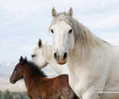This powerful gray stallion moves to protect his mare and foal in the Adobe Town Herd Area in southern Wyoming. I call him the Spanish Stallion in my book Wild Hoofbeats because he looks very much like an Andalusian, and this herd has quite a bit of pure Spanish blood.  This is a fine art print, signed by Carol Walker and printed on archival paper with archival inks. All prints smaller than 24x36 are printed personally and with great care by Carol Walker. Prints will be signed by Carol…