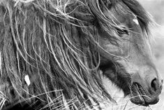 Canada's, Sable Island Wild Horses, Subject of Roberto Dutesco Photography