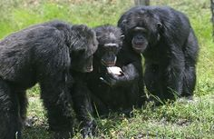 Chimpanzees are social animals. We share DNA that is approximately 98.4% identical to that of chimpanzee,s when comparing single nucleotide polymorphisms. (Wikimedia) More athttp://www.global-awareness.org/books/worldhistory.html