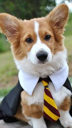 This corgi is a wizard! Check the source link for another cute picture of this corgi. Pembroke Welsh Corgi Puppies, Corgi Dog, Cute Corgi Puppy, Husky Puppy, Baby Animals, Funny Animals, Cute Animals, Cute Puppies, Cute Dogs