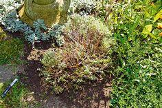 Ako rozmnožiť levanduľu   Urob si sám Plants, Plant, Planets
