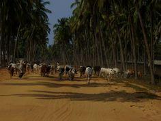 Benin, Africa 2011, december, cows
