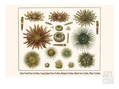 Slate Pencil Sea Urchins, Long Spined Sea Urchin, Hatpin Urchins, Black Sea Urchin, Mine Urchins Premium Poster by Albertus Seba at Art.com