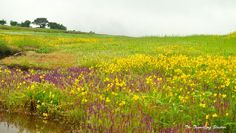 Photo taken on a rainy day at the Kaas Plateau, Satara, Maharashtra, India. It is a meadow of wild flowers that comes alivemerely for a couple of months in the late monsoons.