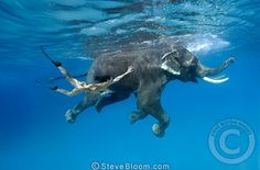 Indian elephant and girl swimming underwater, India
