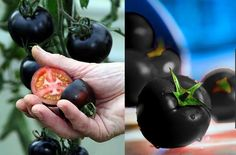 STRANGE FOOD FUN - TOMATOES WITH BLACK SKIN OUTSIDE BUT RED INSIDE!