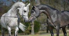 Stado Ogierów Białka - Stadnina Koni Arabskich - Białka Arabians