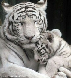 You all white? Adorable tiger cubs snuggle up to mother You all white? Adorable tiger cubs snuggle up to mother There are two four-month-old cubs, Shankar and Maia, and they've been captured snuggling and playing with mum Surya Bara Rare Animals, Cute Baby Animals, Animals And Pets, Funny Animals, Wild Animals, Mother And Baby Animals, Animals Images, Big Cats, Cute Cats