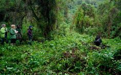 Trek Rwanda's forests in search of endangered silverback gorillas - 10 Honeymoons for the Adventurous Couple | Travel + Leisure