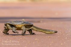 """Photograph Long neck by Ian McCamley on """"A long necked turtle crossing a path at Herdsman lake, Western Australia. Bizarre Animals, Unusual Animals, Rare Animals, Animals And Pets, Funny Animals, Reptiles And Amphibians, Mammals, Land Turtles, Tortoise Turtle"""