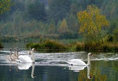 Swan family in autumn by Maxim Sikorski