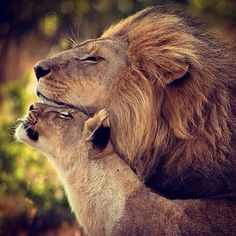 Hello, my lion.You're the best lion in the world. Lion Pictures, Animal Pictures, Daily Pictures, Big Animals, Animals And Pets, Animals Images, Funny Animals, Beautiful Cats, Animals Beautiful